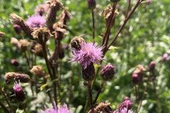 Fördelen med ekologiskt jordbruk förutom att det är giftfritt är att det finns ogräs. Tisteln är en av få dragväxter som ger bra nektar och pollen på sensommaren