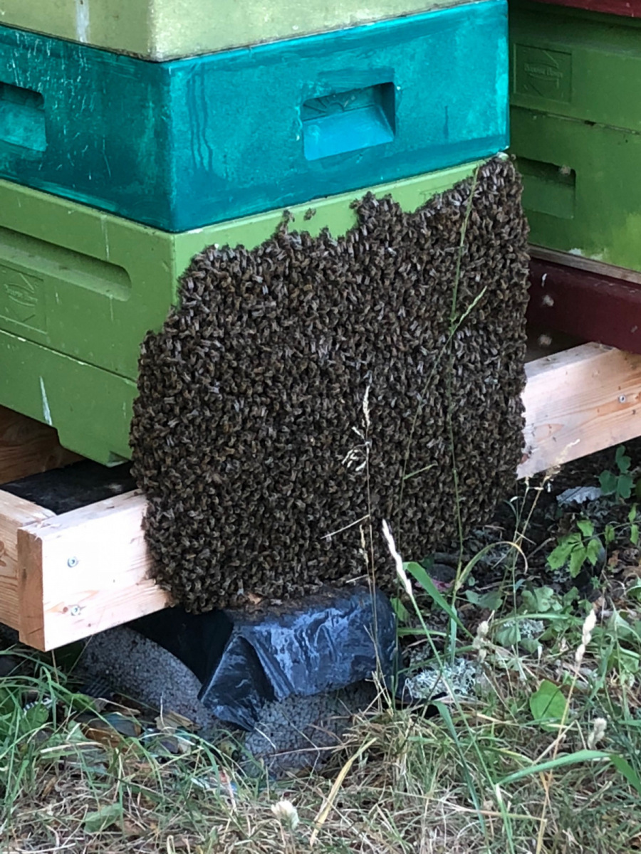 Bi beard, In the late summer the bees often spend the night on the outside of the hive