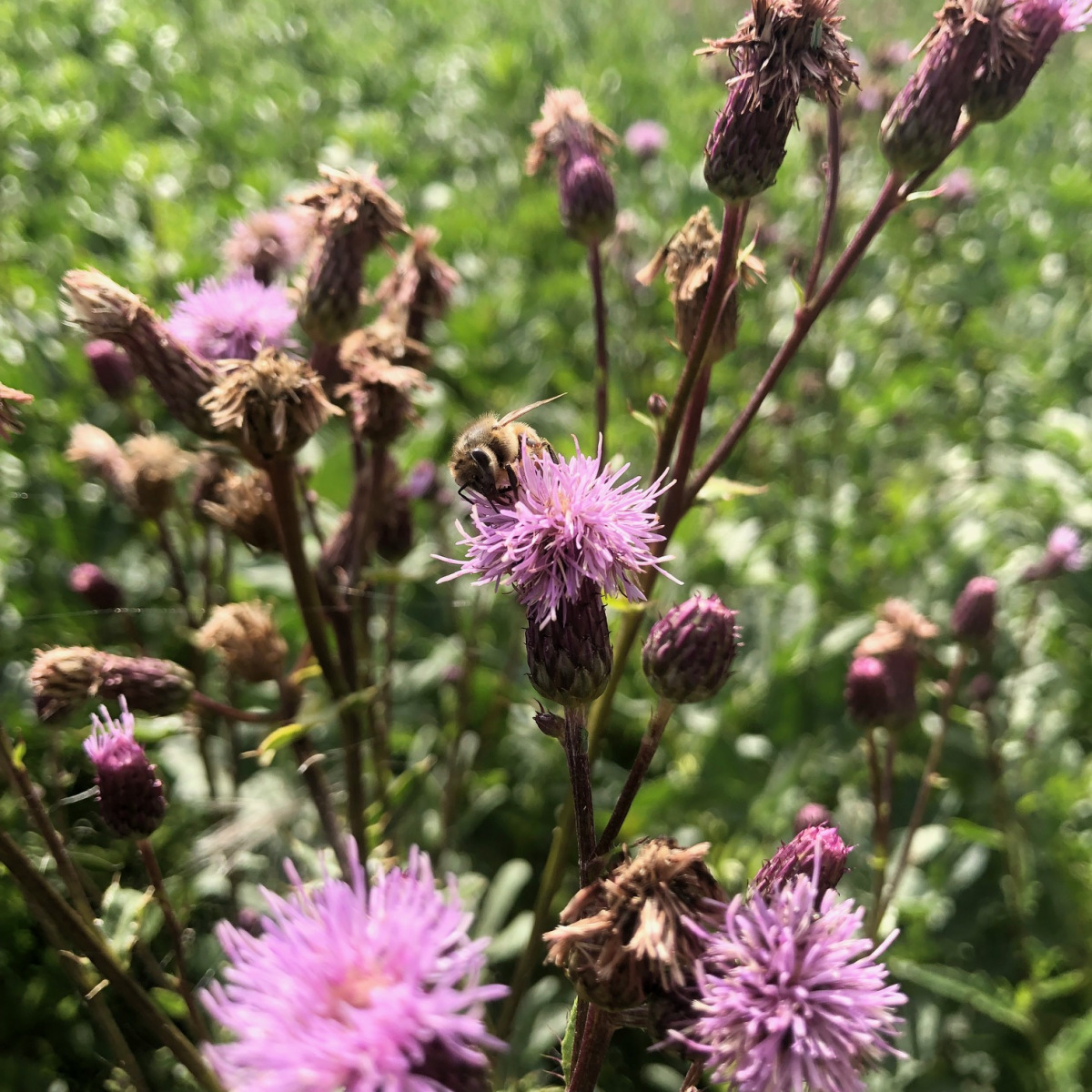 The advantage of organic farming in addition to being non-toxic is that there are weeds. Thistle is one of the few plants that produces  a good nectar flow  and pollen in late summer