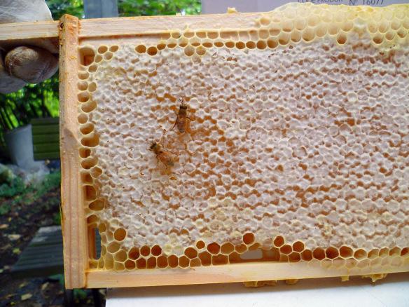 Honey ready to be harvested