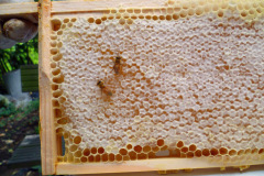 Honey ready to be harvested